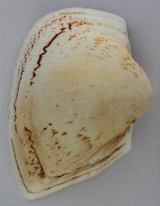 brown giant litub - ( cucullaea labiata ) - 750gr