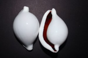 ovula ovum  (egg shell) 8 cm - unid