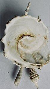 xenophora granulosa - shell carrier 8 cm  - unid