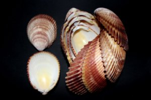 giant brown cockles unpair  (trachycardium) 10 cm - 750gr