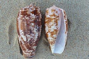 conus geographus 10 cm - unid