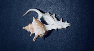 murex nacional ( siratus tenuivaricosus ) - 1kg.
