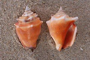 peguari (strombus pugilis) 5 cm - 1kg