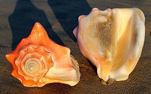 pesado (strombus costatus) 10 cm - unid