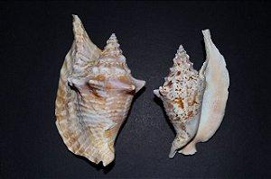strombus gallus 12 a 16 cm - unid