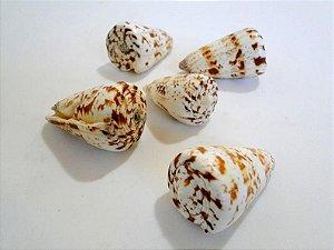conus caracteristicus 5 cm - unid