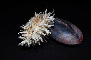 spondyllus barbatus tahong w/ - unid