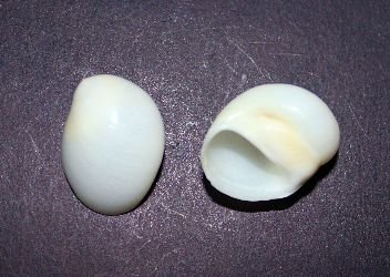 white moon shell w/ spot small - 750gr