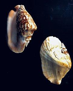 strombus laticimus 15 cm - unid