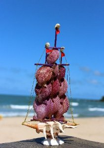 sail boat pecten nobilis e lambis lambis - unid
