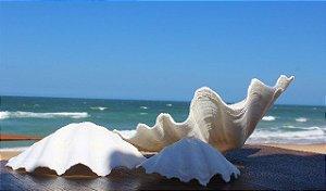 china clam  unpair 33 cm - unid