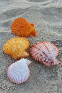 pecten colored pair 10 cm  -  unid