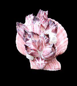 pecten color. pair w/bernacle 7 cm  - unid.