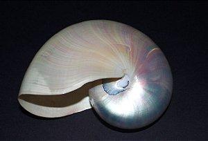 nautilus pompilius pearlized 10 cm  - unid