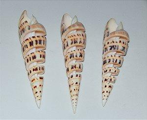 terebra maculata spiral polished 15 cm  up - unid