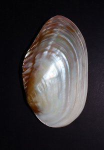 cabibe pearlized river shell pair 18 cm - unid
