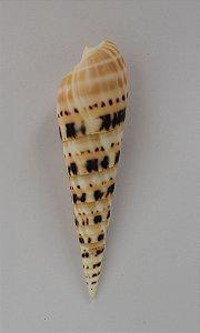 terebra maculata 12 cm  - unid
