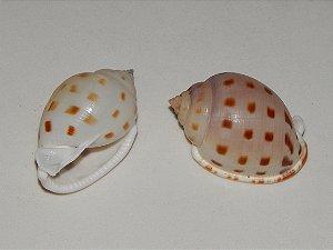 cassis bysolcatum 5 cm - unid