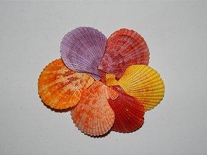 pecten nobilis colored unpair 6 cm  - 750gr