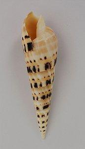 terebra maculata 15 cm  - unid