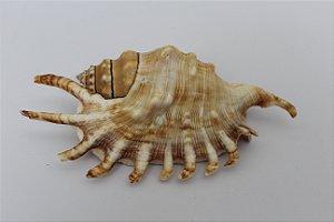 lambis millipeda strombus 10 cm  - unid