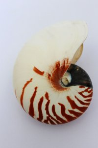 nautilus natural 12 cm - unid