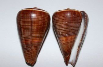 conus figullinus 5 cm - unid