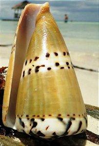 conus capitanius 7 cm - unid