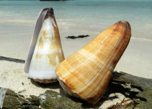 conus distance natural 9 cm - unid