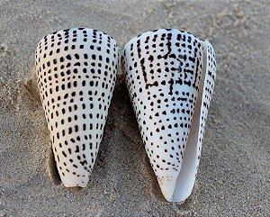 conus litteratus 10 cm - unid