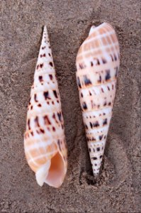 terebra maculata 8 cm - unid