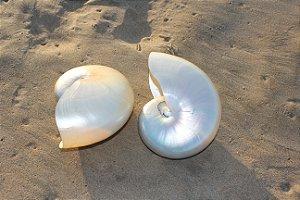 nautilus pearlized 7 cm  - un