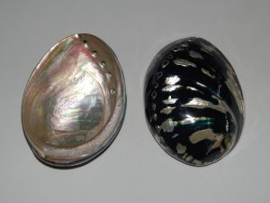 haliotis black abalone polished 13 cm - unid