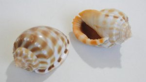 cassis bandatum 7 cm - unid