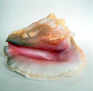 strombus pink 22 cm - unid