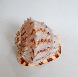 cassis cornuta 18 cm - unid