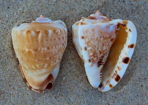 roxo (cassis tuberosa) 15 cm - unid