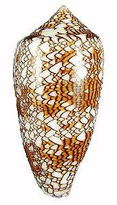conus textile 7 cm - unid