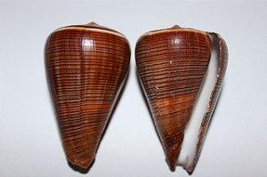 conus figulinos brown 10 cm - unid