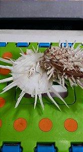 spondyllus imperiales special - unid
