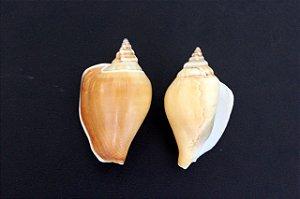 strombus canarium 4 cm - 750gr