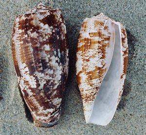 conus geographus 7 cm - unid