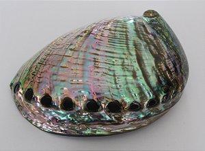 haliotis fulgens 11 cm - unidade.
