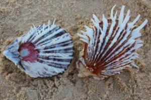 spondyllus albibarbatus 7 cm - unid