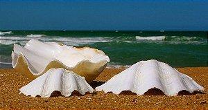 china clam unpair 25  cm - unid