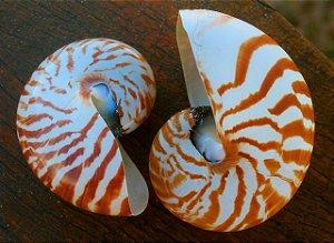 nautilus natural polished 10 cm - unid
