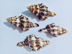 latirus shell large - unid