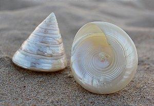 troca male pearlized (trochus nilot)  4 cm - unid