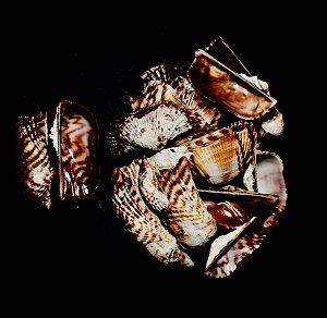 arca navicularis ( indo-pacific ) peanut s. pc/10