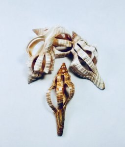 fasciolaria spiral cut pc/10
